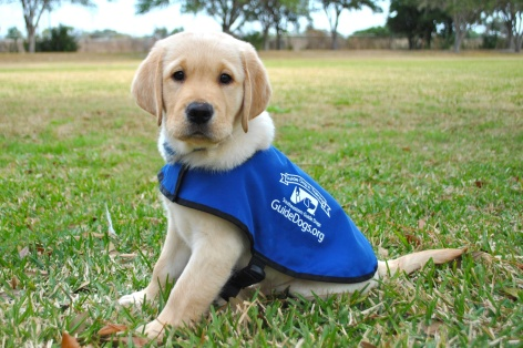Southeastern-Guide-Dogs-Puppy